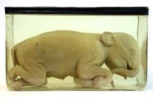 Das bemerkenswerteste Exponat: Elefanten-Embryo aus Indien. Foto: Naturhistorisches Museum