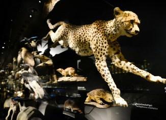 Der Gepard im neuen Schaumagazin. Foto: Andreas Greiner-Napp