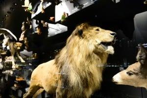 Der Löwe im neuen Schaumagazin. Foto: Andreas Greiner-Napp