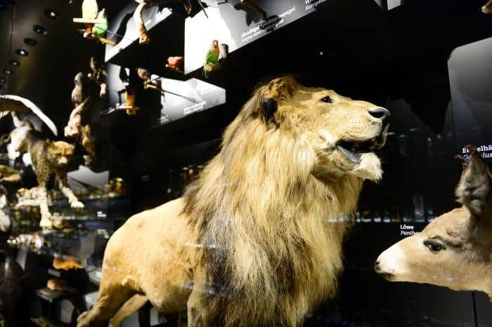 Der Löwe im Naturhistorischen Museum. Fotos: Der Löwe / Andreas Greiner-Napp
