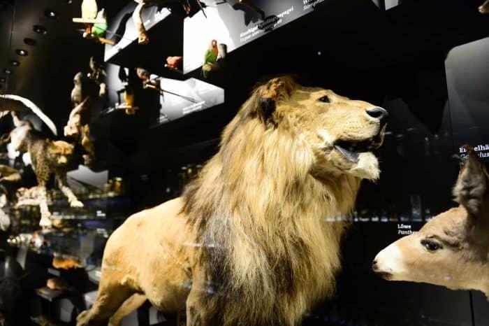 Der Löwe im Schaumagazin des Naturhistorischen Museums. Foto: Andreas Greiner-Napp