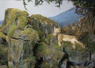 Diorama mit dem letzten im Harz geschossenen Luchs. Foto: SNM