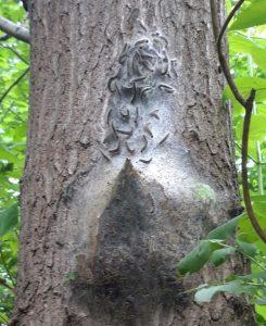 Eichenprozessionsspinner und ihr Nest an einem Baum im Querumer Forst. Foto: SBK